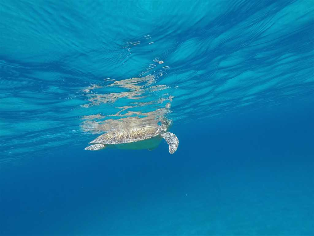 sea turtle, turtles, snorkel with turtles, virgin islands, british virgin islands, cruise ship, hurricane, st thomas, st john, USVI